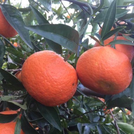 Clementine L' Agricoltore